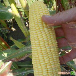 Аранка F1 семена кукурузы суперсладкой Sh2 ранней 65-70 дн. 18-20 см (Semo)
