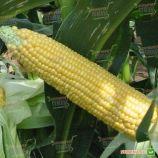 Авицена F1 семена кукурузы сладкой (Semo)