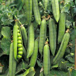 Альфа семена гороха (Украина)