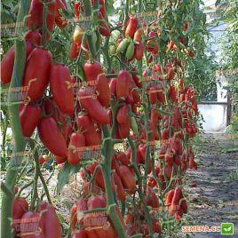 Айдар F1 семена томата индет. среднего 70-75 дн. перц. слив. 140-160г (Clause)