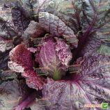 KS 888 F1 насіння капусти пекінської (Kitano Seeds)