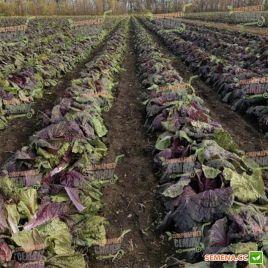 КС 888 (KS 888) F1 семена капусты пекинской среднеранней 65-70 дн 1-1,5кг фиол. (Kitano Seeds)