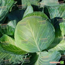 Бригадир F1 семена капусты б/к среднепоздней 110-120 дней 3,5-5 кг окр-прип. (Clause)