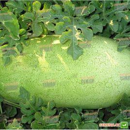 Чарльстон Грей семена арбуза среднего 75-80 дней 10-15 кг (Clause)