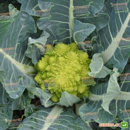 Джитано F1 семена капусты тип Романеско средней 90-95 дн. 1-1,5 кг (Clause)