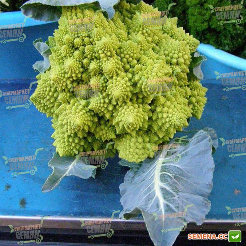 семена романеско купить спб