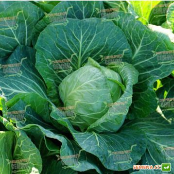 Констебель F1 семена капусты б/к ранней 52-55 дн. 1-1,5 кг окр. (Clause)