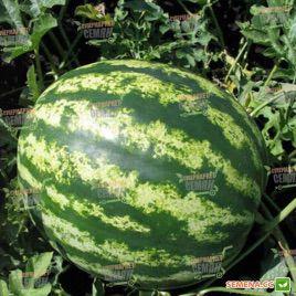 Кримсон Свит семена арбуза (Clause)