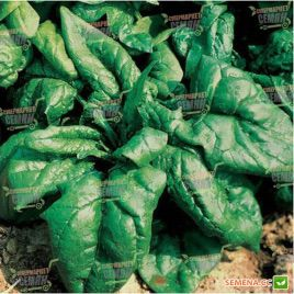 Лагос семена шпината (Clause)