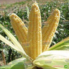 Лендмарк F1 семена кукурузы суперсладкой (Clause)