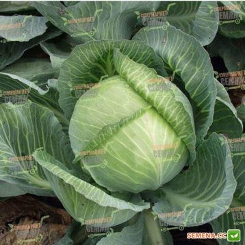 Мандарин F1 семена капусты б/к поздней 130 дн. 2,5-4 кг (Clause)