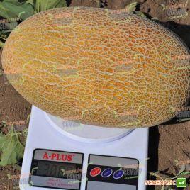 Мазин F1 (МАФ 35 F1) семена дыни тип Ананас (Clause)