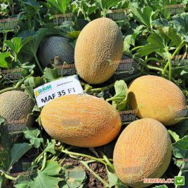 Мазин F1 (МАФ 35 F1) семена дыни тип Ананас ультраранней 60 дн. 2-3 кг овал. оран./бел. (Clause)