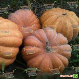 Мускат де Прованс насіння гарбуза (Clause)