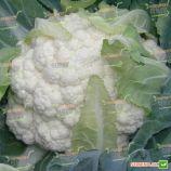 Наутилус F1 семена капусты цветной (Clause)
