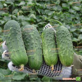 семена огурца регал f1