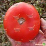 Супернова F1 семена томата дет. (Clause)