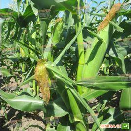 Ракель F1 насіння кукурудзи суперсолодкої (Clause)
