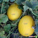 Агаси F1 семена дыни тип SPANISH (Kitano Seeds)