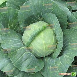 Акира F1 семена капусты б/к ультраранней 48-52 дн. 1-2,5 кг (Kitano Seeds)