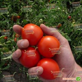 Асвон F1 (KS 1140 F1) семена томата дет. раннего 95-100 дн. слив. 70-90г (Kitano Seeds)