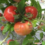 Касамори F1 семена томата индет. раннего 105-115 дн. окр.-прип. 300-550г роз. (Kitano Seeds)
