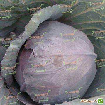 Киото F1 семена капусты к/к ранней 70-75 дн. 1,5-2,5 кг окр. (Kitano Seeds)