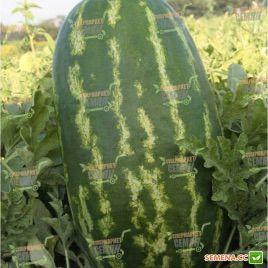 КС 3 (KS 3) F1 семена арбуза тип Кримсон Свит среднепозднего 13-15 кг (Kitano Seeds) СНЯТО С ПРОИЗВОДСТВА