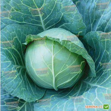 KS 15 F1 насіння капусти б / к середньої (Кітано Семена)