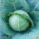 KS 15 F1 семена капусты б/к средней (Kitano Seeds)