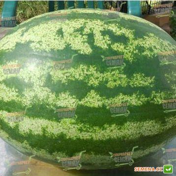 КС 24 (KS 24) F1 семена арбуза тип кр.св. раннего 8-9 кг окр. (Kitano Seeds) СНЯТО С ПРОИЗВОДСТВА