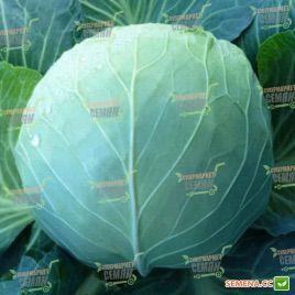 KS 29 F1 семена капусты б/к средней (Kitano Seeds)