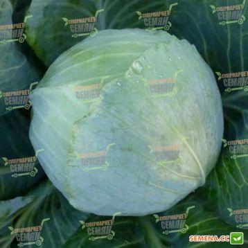 KS 60 F1 насіння капусти б / к середньої (Кітано Семена)