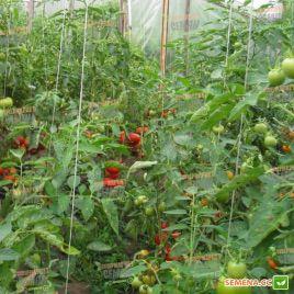 KS 74 F1 семена томата полудет. (Kitano Seeds)