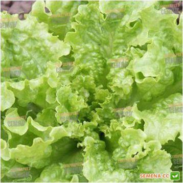 семена салата батавия кс 129