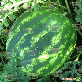 КС 163 F1 (KS 163 F1) cемена арбуза тип Кримсон Свит раннего 63-65 дн. 10-12 кг (Kitano Seeds)