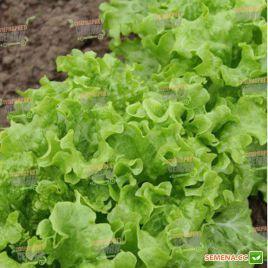 КС 190 (KS 190) семена салата тип Батавия зел. (Kitano Seeds)