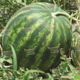 КС 638 F1 (KS 638 F1) семена арбуза (Kitano Seeds)