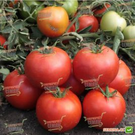 КС 835 (KS 835) F1 семена томата дет. среднепозднего 115-125 дн. окр. 220-270г (Kitano Seeds)