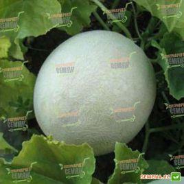 Мира (KS 7037) F1 семена дыни тип Хани Дью средней 83-85 дн. 1,5-2,5 кг окр. крем.-бел./св.-зел. (Kitano Seeds)