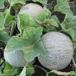 КС 7049 (KS 7049) F1 семена дыни тип Канталупа ранней 75-80 дн. 1,3-1,5 кг окр. сер.-зел./тем.-оран. (Kitano Seeds)