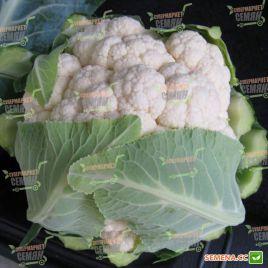 Мисора F1 (KS 22 F1) cемена капусты цветной средней 80-85 дн. 1,5-2,5 кг (Kitano Seeds)