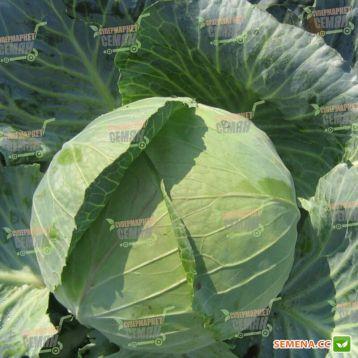 Наоми F1 семена капусты б/к средней (Kitano Seeds)