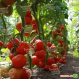 Тайлер F1 семена томата индет. раннего 95-100 дн. окр. 160-180г красный (Kitano Seeds)