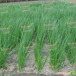 Вулкан F1 семена лука на перо (Kitano Seeds)