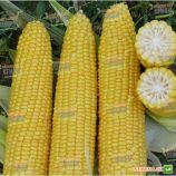 Добрыня F1 семена кукурузы суперсладкой Sh2 ранней 70 дн. 24-25 см 16-18 р. (Lark Seeds)