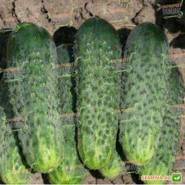 семена огурца каролина f1