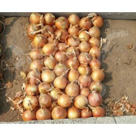 Кватро F1 семена лука репчатого среднего (Hazera) СНЯТО С ПРОИЗВОДСТВА