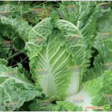 Марлин F1 семена капусты пекинской ранней 60 дн. 2 кг (Lark Seeds)