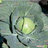 Пасадена F1 семена капусты б/к ультраранней (калибр.) (Lark Seeds)